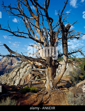 abgestorbener Baum am Zion Canyon dead tree in Zion National Park view from Angels Landing - Stock Photo