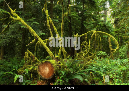 Old-growth temperate rainforest.  Cathedral Grove, MacMillan Provincial Park, Vancouver Island, BC, Canada - Stock Photo