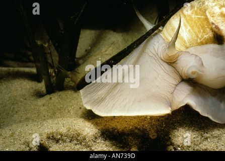 Foot and shell of Northern Moon Snail - Stock Photo