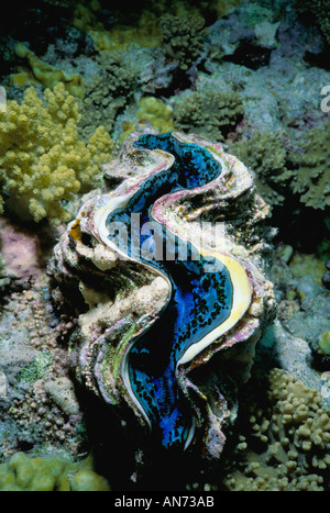 Giant Clam exposing itself on coral reef bed - Stock Photo