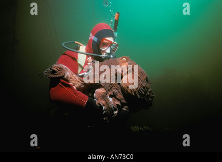 Diver interacts with Giant Pacific Octopus - Stock Photo