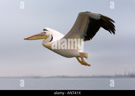Great white pelican Pelecanus onocrotalus adult in flight Walvis Bay Namibia November - Stock Photo