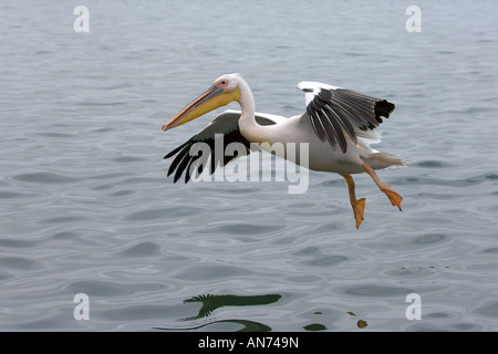 Great white pelican Pelecanus onocrotalus adult landing on water Walvis Bay Namibia November - Stock Photo