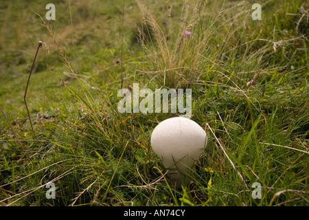 A Puffball mushroom (Lycoperdon perlatum) in a meadow (France). Vesse de loup (Lycoperdon perlatum) dans un pré - Stock Photo
