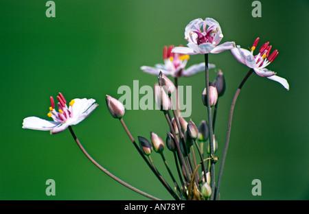 butomus umbellatus butomaceae jonc fleuri - Stock Photo