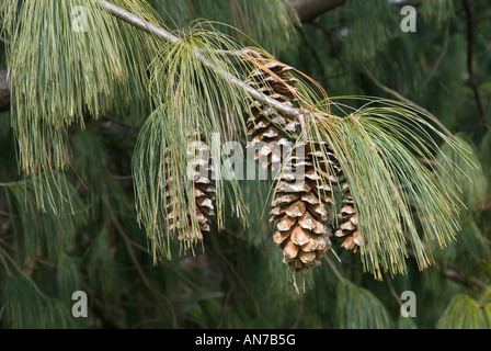 Himalayan White Pine Cones - Stock Photo