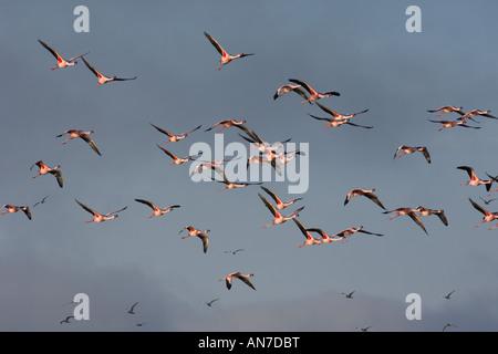Lesser flamingo Phoenicopterus minor flock in flight Walvis Bay Namibia November - Stock Photo