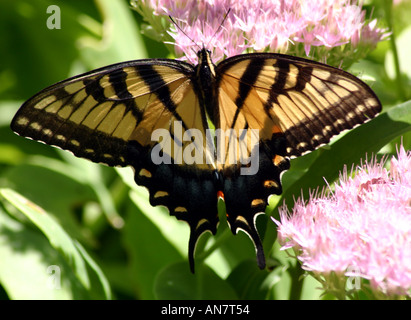 A yellow swallow tail butterfly on a pink flower - Stock Photo