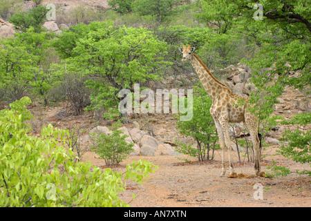 Southern giraffe Giraffa camelopardalis giraffa adult female in mopane woodland Hobatere Namibia November - Stock Photo