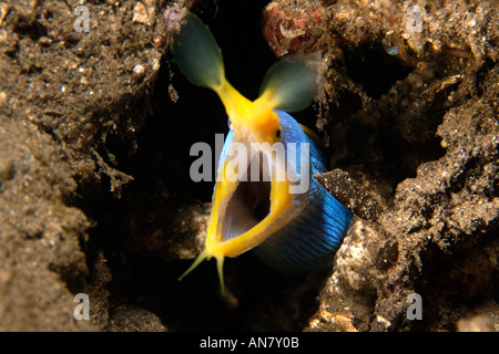 Ribbon eel Rhinomuraena quaesita gaping mouth Dumaguete Negros Island Philippines - Stock Photo