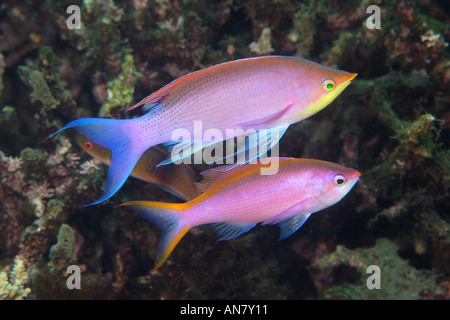 Pair of purple anthias Pseudanthias tuka male and female Dumaguete Negros Island Philippines - Stock Photo