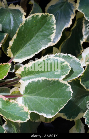 Eryngium planum 'Jade Frost' variegated leaves foliage blue green and white cream edged with red stems pink (Sea - Stock Photo