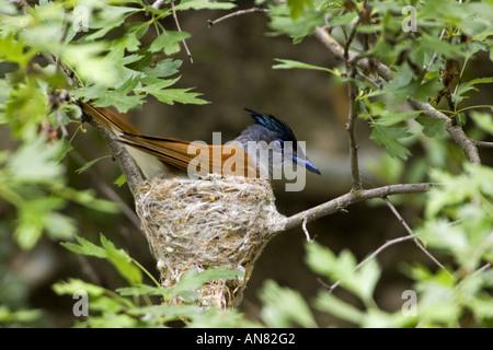 Asiatic paradise flycatcher (Terpsiphone paradisi), portrait of a single animal on the nest, Kazakhstan - Stock Photo