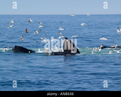 Humpback whales bubble net feeding, Stellwagen Bank Boston,  Massachusetts USA - Stock Photo