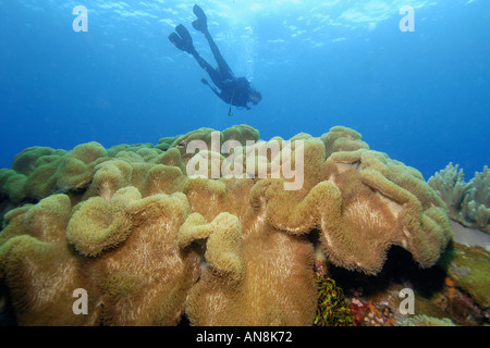 Diver hovers over Leather coral Sarcophyton sp Apo Island marine reserve Philippines Visayan sea - Stock Photo