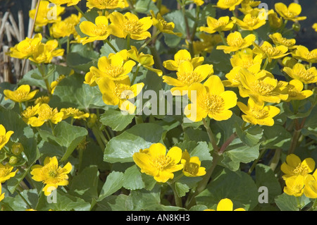 Marsh Marigolds or Kingcup Caltha palustris London Wetland Centre UK - Stock Photo