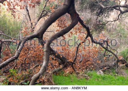 Fallen Oak Tree in San Dimas Experimental Forest California - Stock Photo