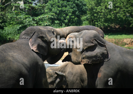 Two elephants jostling fighting in river at Pinnewela Elephant Orphanage Kandy Sri Lanka - Stock Photo