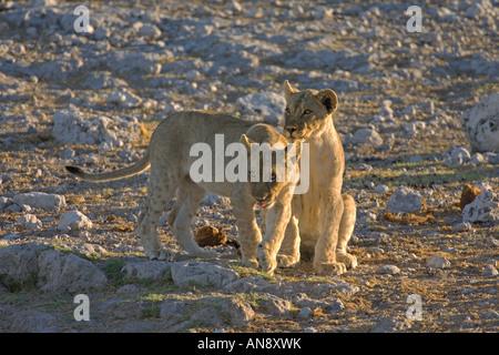 Lion Panthera leo cubs playing Etosha National Park Namibia November - Stock Photo