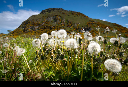 A patch of dandelion heads going to seed in a green meadow below the volcanic plug remains of North Berwick Law - Stock Photo