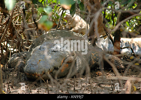 Horizontal close up of a large saltwater crocodile hiding in the undergrowth on a river bank. - Stock Photo