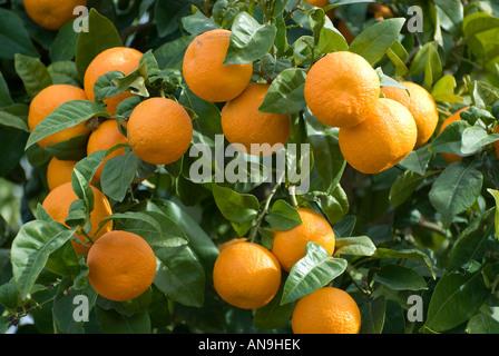 organic oranges growing on tree, lorca, spain - Stock Photo