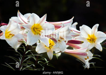 LILIUM REGALE LILIACEAE  regal lily trumpet lily white spot spotted lila red green Spring Flowering black background dark