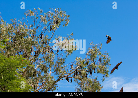 Spectacled Flying fox bats roosting Port Douglas Queensland Australia - Stock Photo