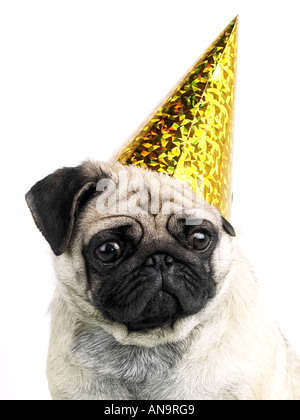 A pug wearing a party hat, being a party animal but looking unhappy. - Stock Photo