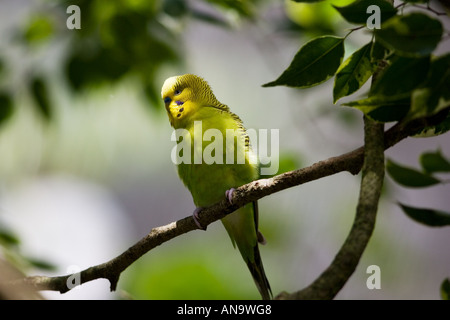 Budgerigar perched on branch Queensland Australia - Stock Photo