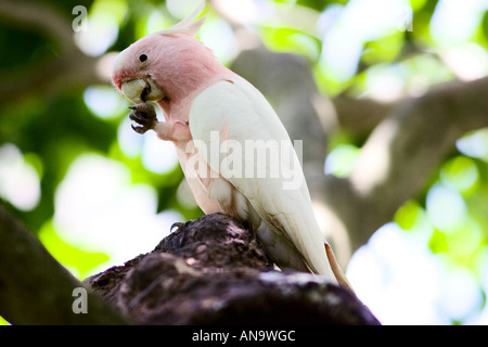 Major Mitchell Cockatoo perched on branch Queensland Australia - Stock Photo