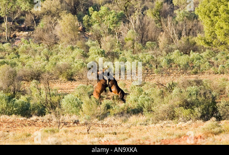 Mustangs fighting in the Red Centre Northern Territory Australia - Stock Photo