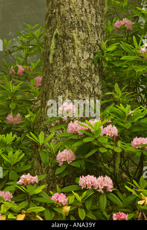 Rhododendrons in spring rainforest - Stock Photo