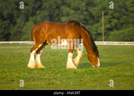 Clydesdale draft horse at pasture in Lexington Kentucky - Stock Photo