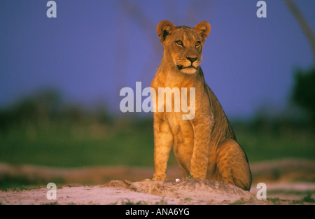 Lion at sunset seated on a termite mound on Savuti marsh - Stock Photo