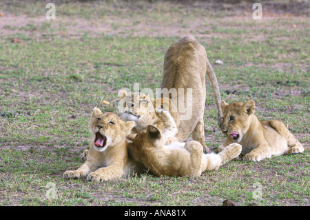 Lion cubs (Panthera leo) playing one lying on its back with legs up in the air - Stock Photo