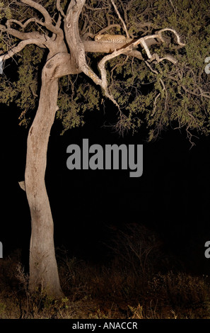 Leopard (Panthera pardus) sleeping in tree at night - Stock Photo
