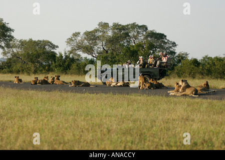 Tourists on a game drive viewing a pride of lions lying around the vehicle in the road - Stock Photo