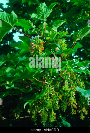 Sycamore foliage in Spring