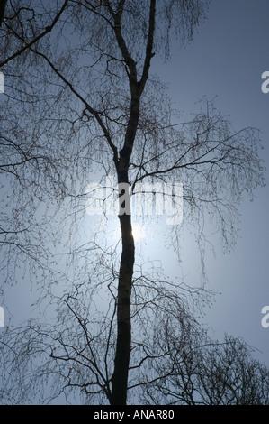 A silver birch tree Betula pendula in winter silhouetted by a low sun Decoy Newton Abbot Devon Great Britain - Stock Photo