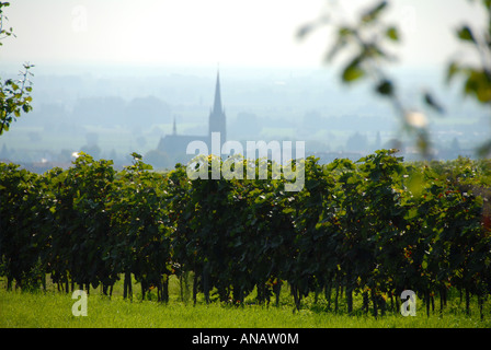 grape-vine, vine (Vitis vinifera), view on vineyard, Edenkoben in the background , Germany, Rhineland-Palatinate, - Stock Photo