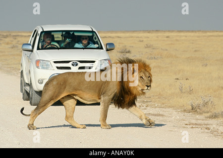 lion (Panthera leo), in front of tourist car, Namibia, Etosha NP - Stock Photo