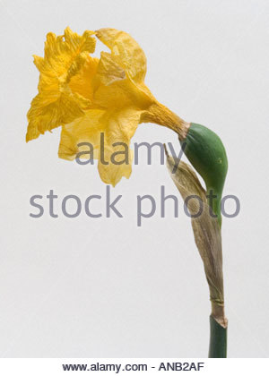 Close up of dying daffodil - Stock Photo