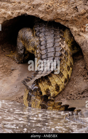 Nile crocodile entering a cave excavated in the banks of a riverbed to hibernate - Stock Photo