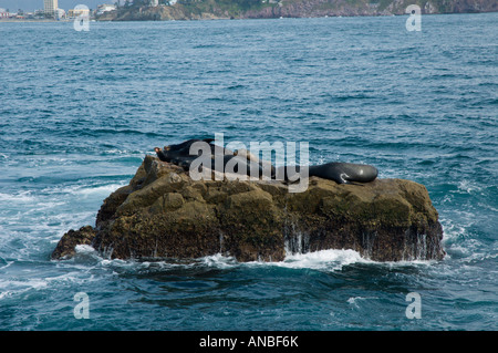 lazy Seals resting in the sun on a rock off the shore in Mazatlan, Mexico - Stock Photo