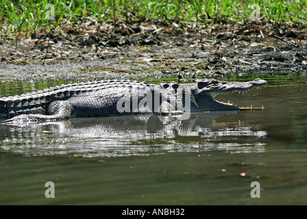 Saltwater Crocodile Kakadu national park - Stock Photo
