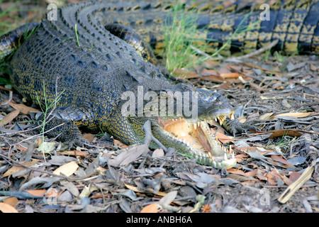 Saltwater Crocodile, Kakadu national park - Stock Photo
