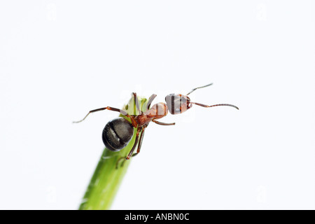 Wood ant - on plant / Formica rufa - Stock Photo