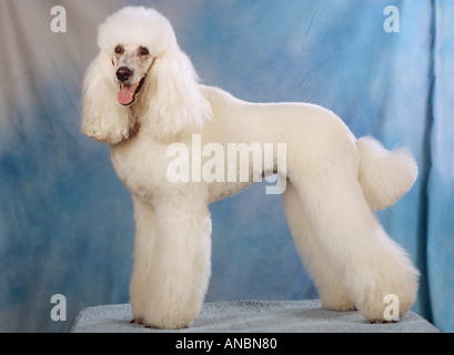 white giant poodle dog - standing - Stock Photo