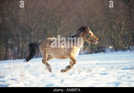 Dulmen wildhorse - galloping in snow - Stock Photo